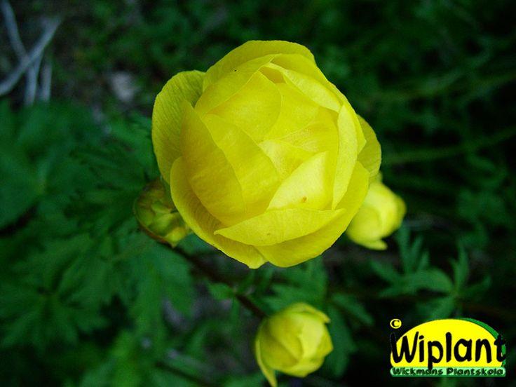 Trollius, Smörboll. Bildar kraftiga tuvor. Blommar med gula bollar i maj - juni. 50-80 cm