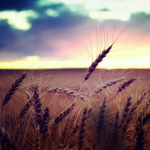 Wheat fields on the plains...  - Explore the World with Travel Nerd Nici, one Country at a Time. http://travelnerdnici.com/