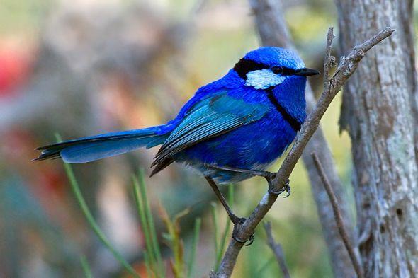 """A carriça franjada australiana é um pássaro de plumagem azul brilhante que habita na maior parte do continente australiano. Os machos têm plumas de tom """"azul elétrico"""", que  mudam após o primeiro ano para chamar a atenção das fêmeas (com plumagem marrom)."""