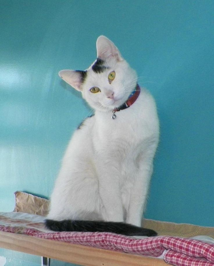 Adopted meet trevor a petfinder adoptable domestic short