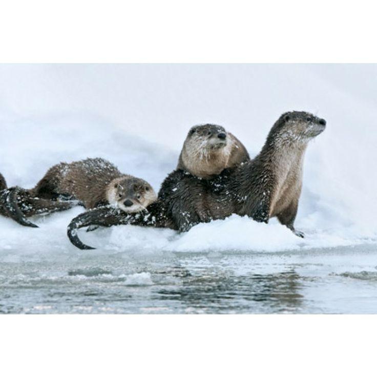 319 best river otters images on pinterest river otter for Otter ice fishing