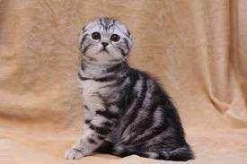 Скоттиш фолд вислоухое мяу Всё о шотландской вислоухой породе кошек