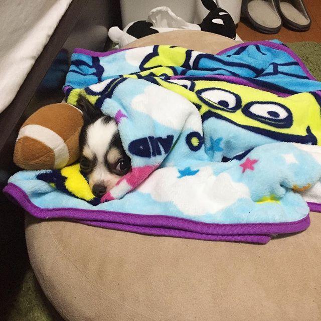 . 潜って寝るのはそろそろ暑くなってきたのか、 顔だけ出して新しい寝方をしてるロイ♥️ . よく考えたらこれは人間用に買ったクッションだが、 今やロイのベット😂 . #きょうも1日お疲れ様でした#ちわわ#チワワ#ロングコートチワワ#ロンチー#愛犬#犬#わんこ#ROI#ロイ#チワワ大好き#犬がいる生活#イヌスタグラム#インスタドッグ#おやすみなさい#chihuahua#chihuahualove#longcoatchihuahua#dog#dogs#doglife#ilovedog#doglover#animal#animallover#cute#instadog#dogstagram#pet#zzz