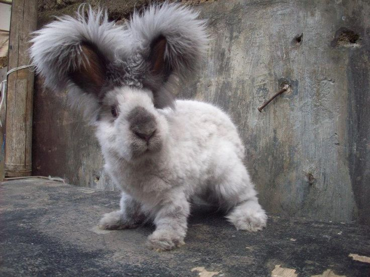 Angora Bunny with a haircut!! Flup what!!