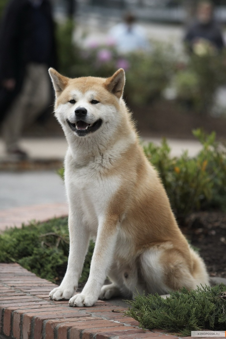 Hachi! The dog that waited 9 years for his master to ...