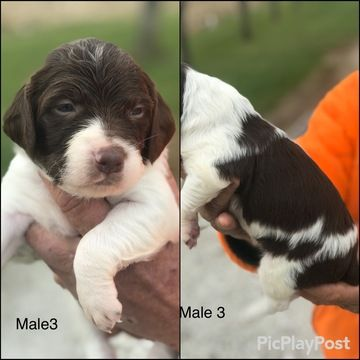Litter of 9 Brittany puppies for sale in SEYMOUR, IA. ADN-50705 on PuppyFinder.com Gender: Male. Age: 3 Weeks Old
