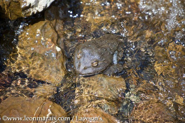 Maluti River Frog, #Lesotho