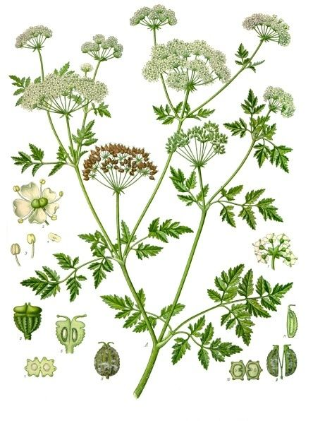 Conium maculatum - Köhler–s Medizinal-Pflanzen-191 - Conium - Wikipedia, the free encyclopedia