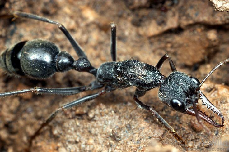 Provista de unas mandíbulas fuertes y un aguijón que expulsa un veneno varias veces más potente que el cianuro o el arsénico, la Myrmecia pyriformis, la hormiga bulldog, es una especie de hormiga toro descubierta en las regiones litorales de Australia que no es tan inofensiva como el resto de las hormigas que conocemos. Según Guinness World Records 2017,es capaz de matar a un adulto en 15min