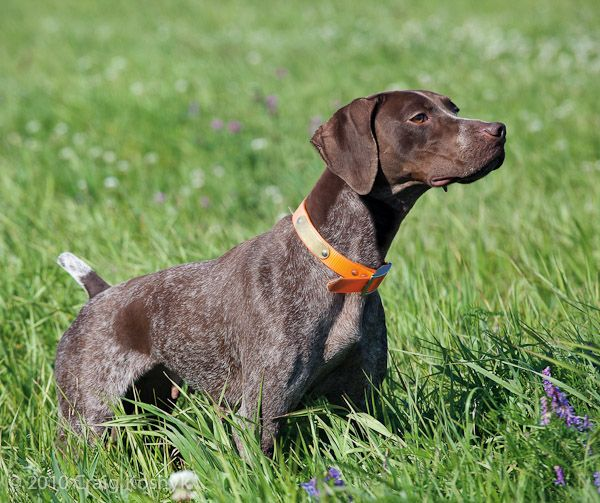 Pointing Dog Blog: Breed of the Week: The Braque Francais Part One