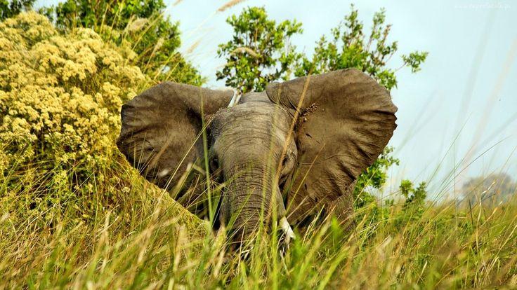Słoń, Trawa