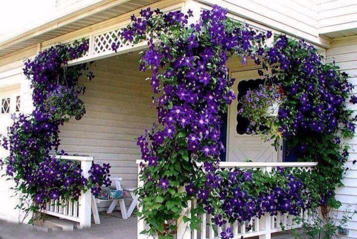 Purple morning glory flowers on house
