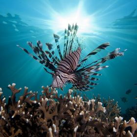 Lionfish with sunburst. Just amazing!