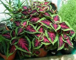 plantas de interior -Begonia Rex