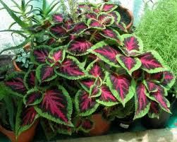 plantas de interior -Begonia RexPlantas Suculentas, Gardens Ideas, Plantas De Interiors, Interiors Begonia, Plantas Para, Plants, Gardens Landscapes, Plantas Interiors