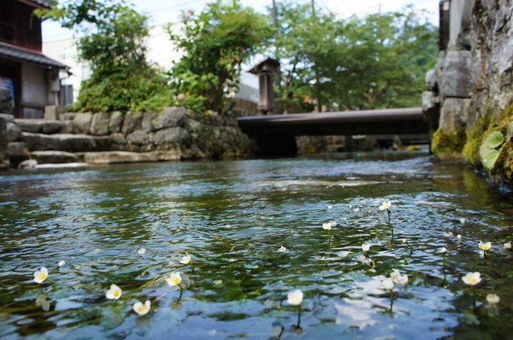 地蔵川(梅花藻)   長浜・米原・奥びわ湖を楽しむ観光情報サイト