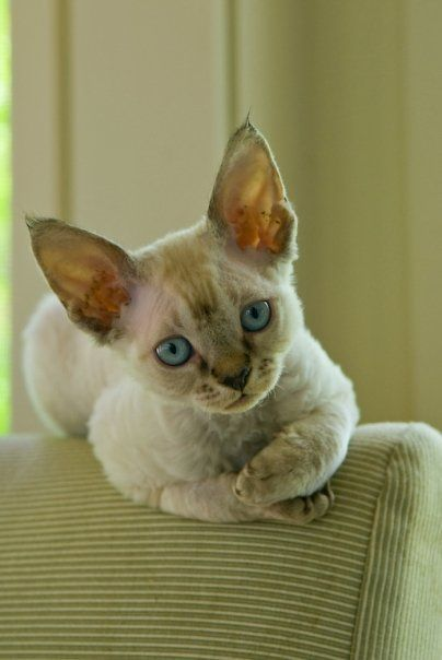 My Devon Rex Kittens - #cat - Different Tiny Cat Breeds at Catsincare.com!