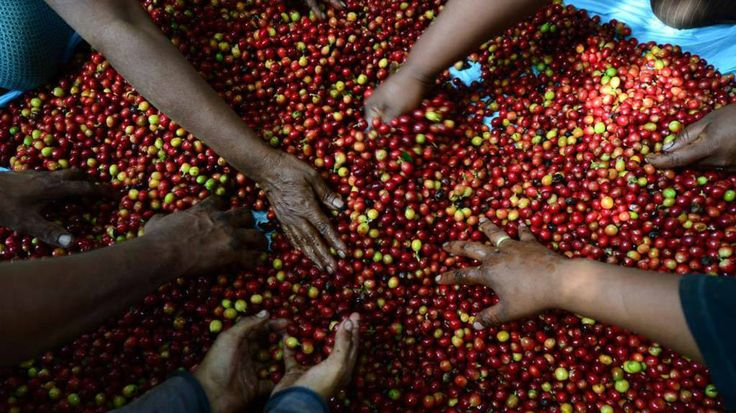 Exportación de café de Honduras bajó 24.4 % | ElSalvador