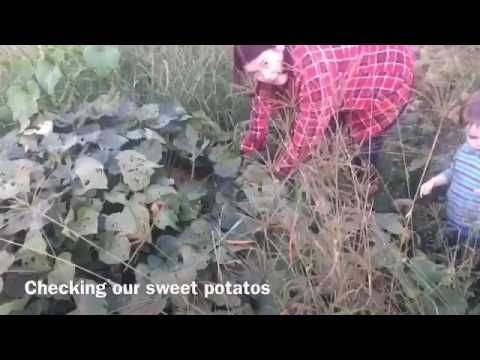 Checking the sweet potatoes - YouTube