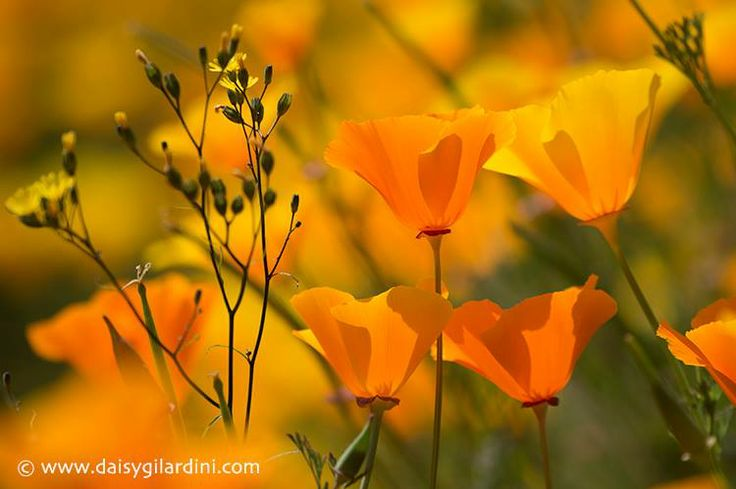 Amapola de California, en la Península Olímpica, Washington Fotografiado por Daisy Gilardini, vía Facebook.
