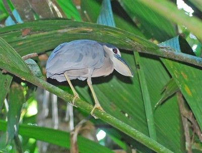 Boat-billed Heron (Cochlearius cochlearius), Nationalpark Tortuguero, Costa Rica | GRID-Arendal - Environmental Photo Library