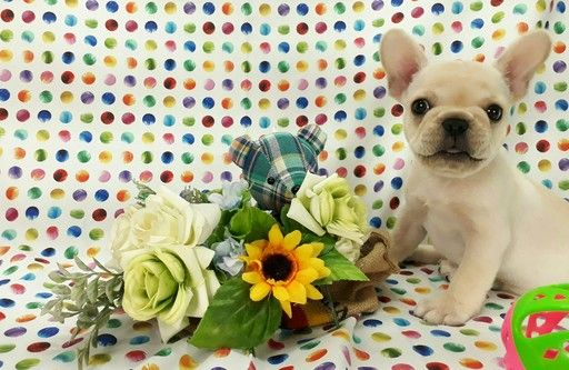French Bulldog Puppy For Sale In New York Ny Usa Adn 104117 On