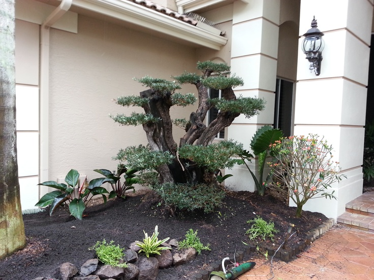 131 best images about olive bonsai on pinterest trees for How to make an olive tree into a bonsai