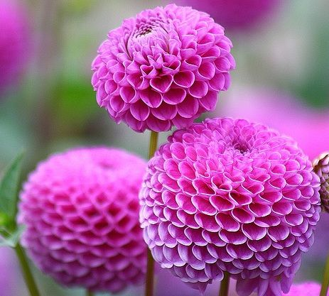 I love pompom dahlias, must grow some