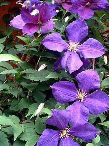 """Clematis Jackmanii Vine - Velvety-Purple - 2.5"""""""" Pot"""