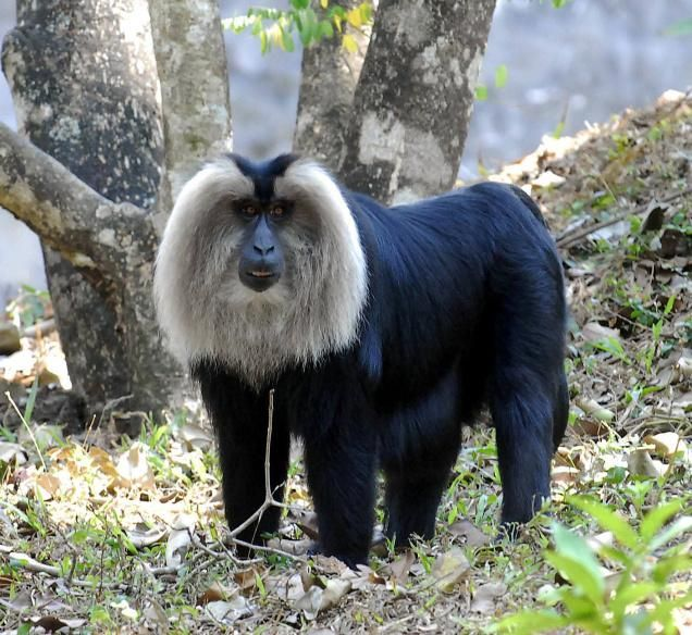 The Lion-tailed Macaque (Macaca silenus) is one of the world's rarest and most endangered primates. These handsome monkeys spend most of their time high up in the trees. There are only around 2500 remaining in the wild in SW India. They only get to be around 15-33 lbs, so they're known as one of the smaller species of macaques.  The Lion-tailed Macaque is defined by its large, silver mane that surrounds its black face and its tail that ends in a black tuft, similar to a lion's.
