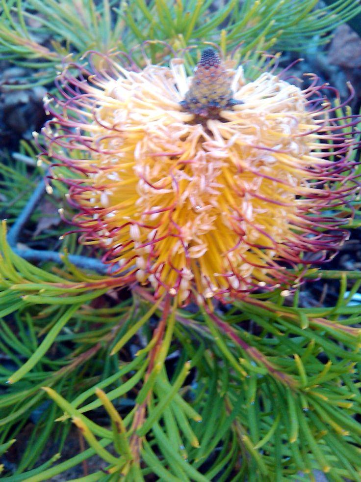 17 best images about australia u0026 39 s flora on pinterest