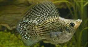 17 best images about aquariums mollies swordtails on for Large peaceful community fish