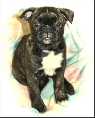 boston terrier pug mix puppies for sale 23 best boston terrier pug mix buggs images on pinterest 4457