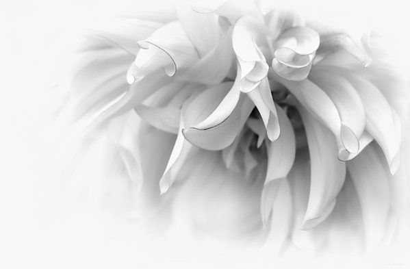 Dahlia flower in soft shades of gray. Photography art for your home or office decor.