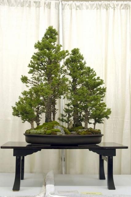 Alberta spruce forest