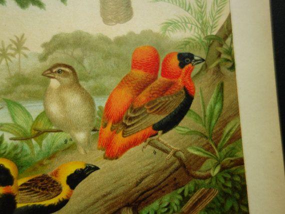old pictures of weaver birds 1903 original by DecorativePrints