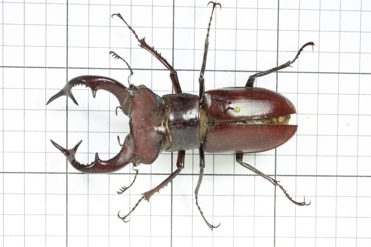 Stag Beetle (Male), Order Coleoptera: Family Lucanidae (top) J. Cauthorn