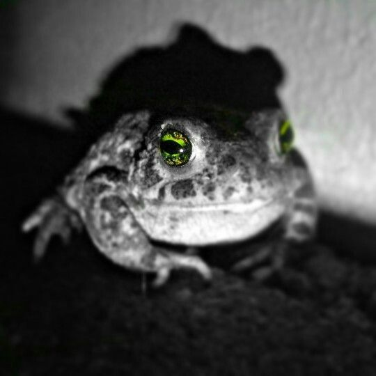 French toad