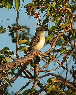 Puerto Rican Flycatcher.jpgEl copetón puertorriqueño2 (Myiarchus antillarum) es una especie de ave paseriforme de la familia Tyrannidae. Se distribuye por Puerto Rico y las Islas Vírgenes