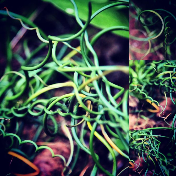 https://flic.kr/p/Eg9J8R | We all have straight lines. #curves #twist #grass #walk #garden #green #life #dance #nature #macro #camera #lens