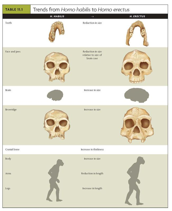 the physical characteristics of homo habilis Get information, facts, and pictures about human evolution at encyclopediacom make research projects and school reports about human evolution easy with credible articles from our free.