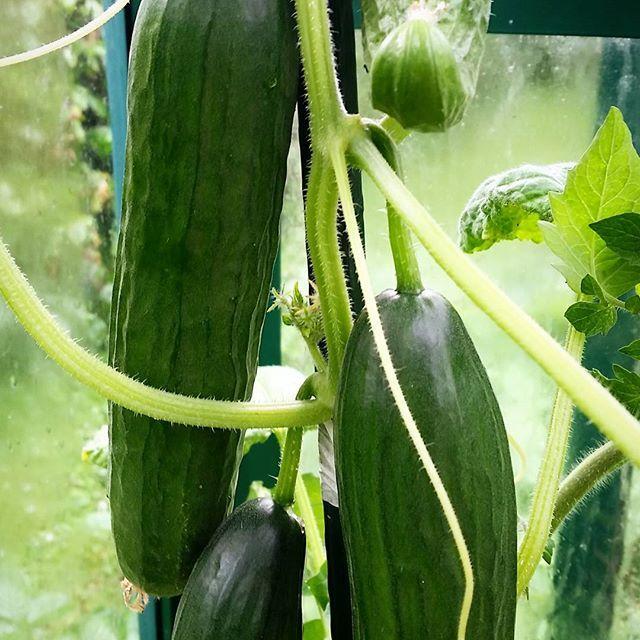 Die ersten eigenen Salatgurken aus dem Gewächshaus. Keine EU Form: gebogen und unregelmäßig #bioanbau #kompost #salatgurken #schlangengurke #ohnekunstdünger #ohnepestizide #frischesgemüse #superlecker