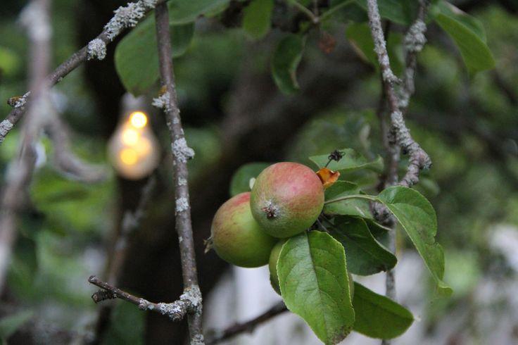 Joko teidän pihalla on omenat kypsyneet syöntikelpoisiksi? Nämä omenat puristuivat eilen tuoremehuksi, jota on mukava maistella pimentyvinä iltoina kynttilänvalon loisteessa.