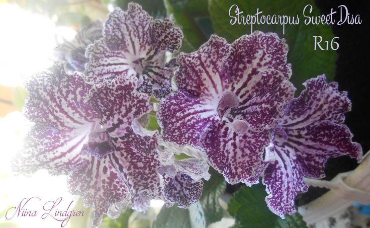 Streptocarpus Sweet Disa