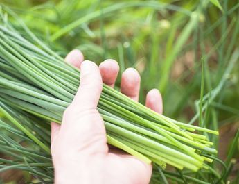 Chives make a great addition to the garden, both for their oniontasting leaves and pretty blossoms. The question is, when and how to harvest chives. Click this article to find out more information regarding the harvesting and storing of chives.