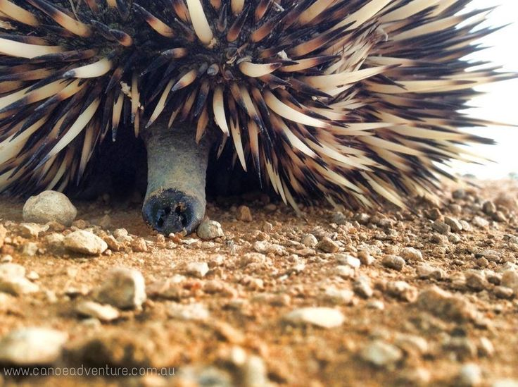 You'll meet all manner of characters on the banks of the #MurrayRiver SA.  Echidna - Tachyglossidae