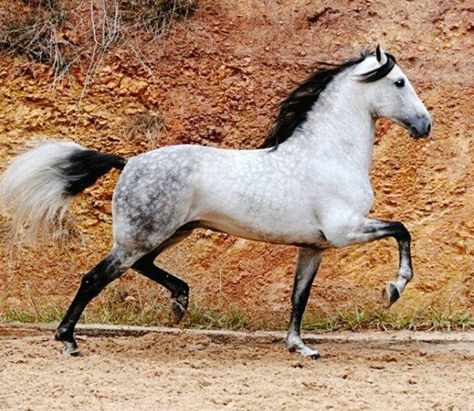 Influential Pura Raza Española stallion, Artista M.Suay.