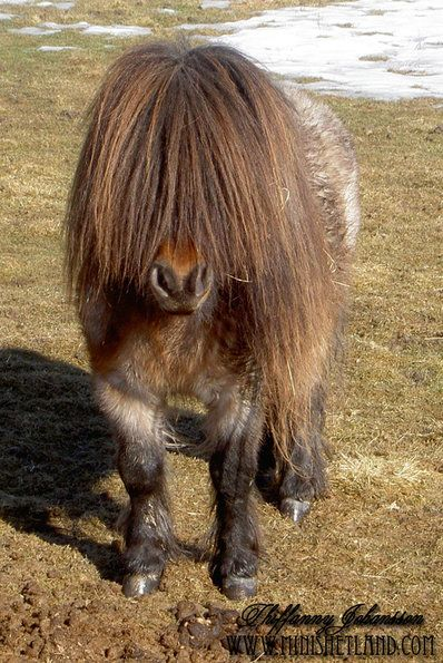 miniature Shetland pony stallion with tiny ears. Can you see me now?...through my big fluffy mane...