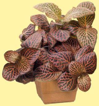 Plantes adaptées aux terrariums tropicaux humides fittonia