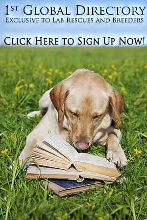 Labrador Rescue and Breeder Guide